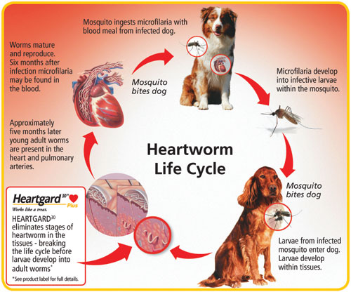 heartworm_lifecycle