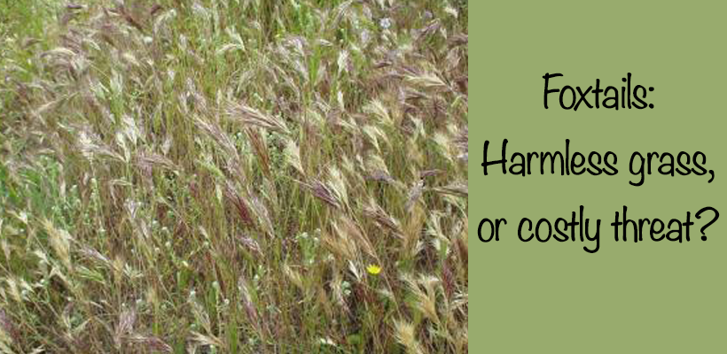 Foxtails Harmless Grass Or Costly Threat