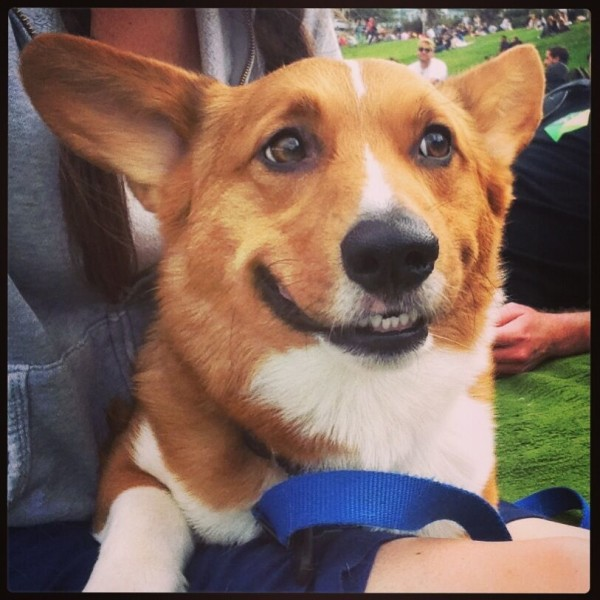 Corgi in San Francisco