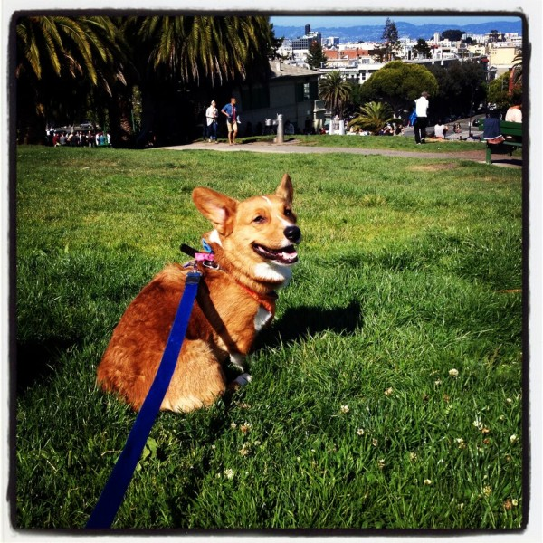 Corgi in San Francisco