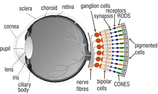 dog eye diagram cones eye diagram rods and cones of a dog s with