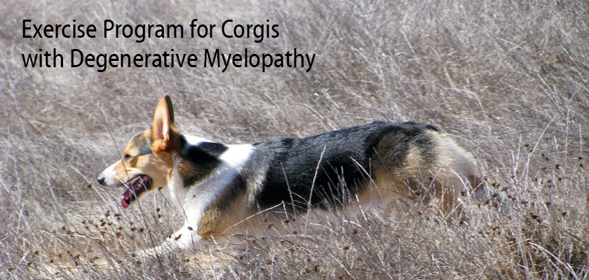 Exercise Program for Corgis with Degenerative Myelopathy