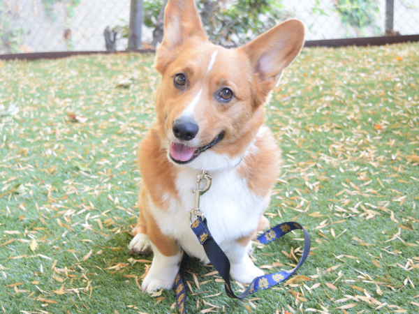 Corgi wearing Notre Dame Leash and Collar