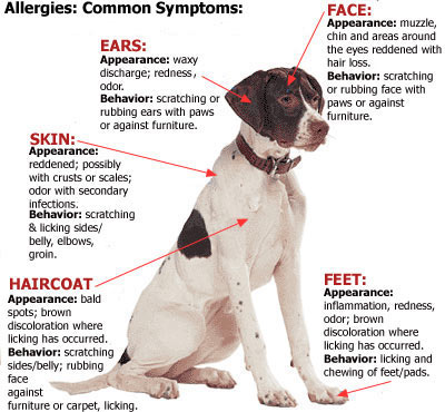 Common Dog Allergy Symptoms