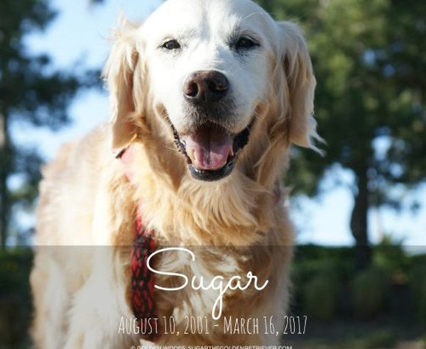 Sugar the Golden Retriever