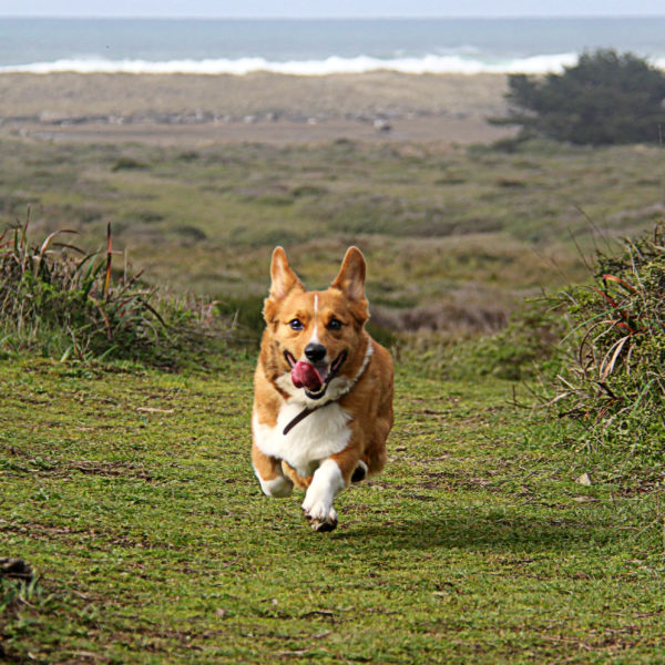 Should You Adopt a Corgi? Adopt A Shelter Pet Month with Petcurean