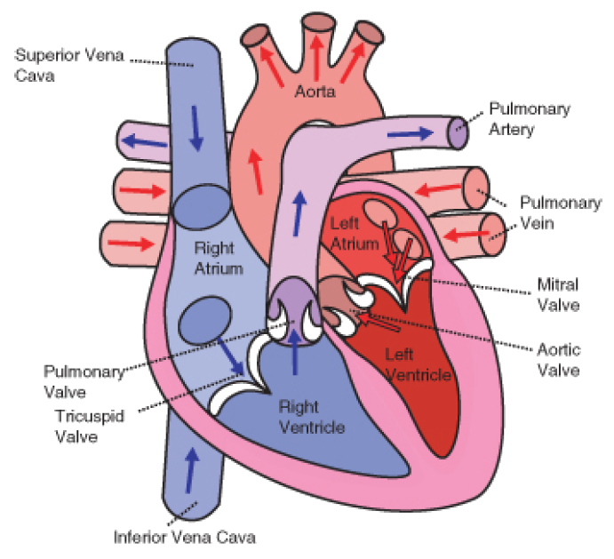 What Do Heart Murmurs Sound Like?